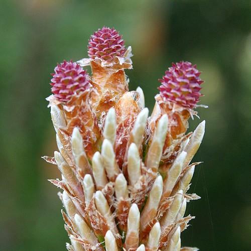 Pink fir cones