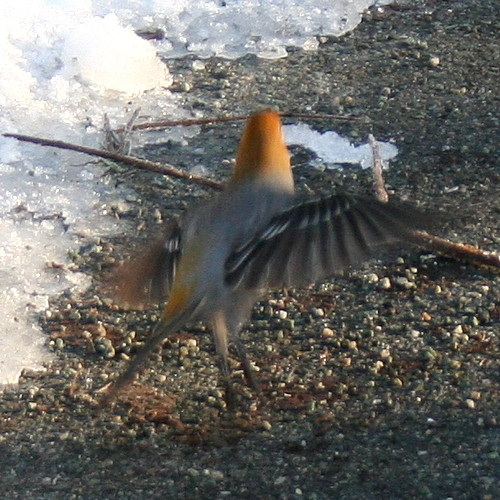 Dancing bird