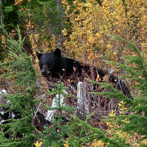 Bear watching3a
