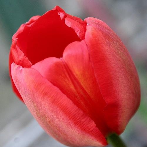Tulip exterior