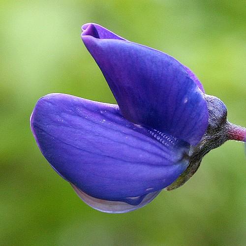 Alll blue lupin