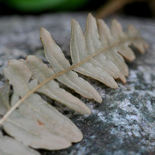 Dry fern2