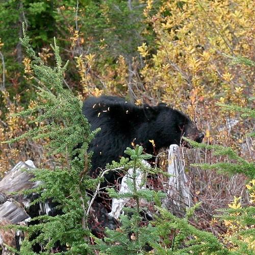 Bear watching3