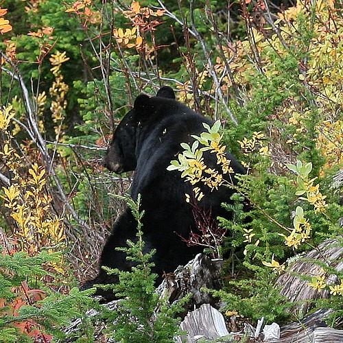 Bear watching3b