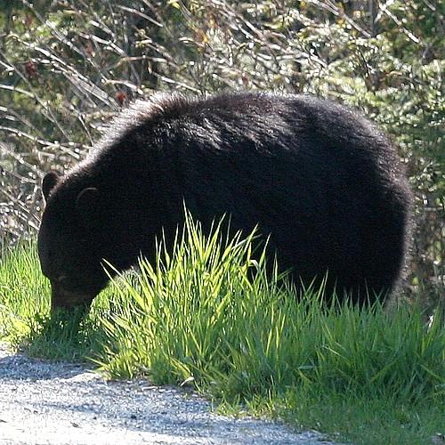 Bear eats dandelions