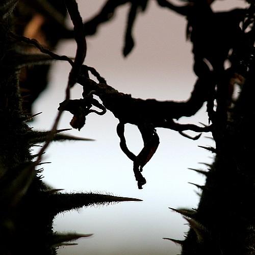 Thorns1