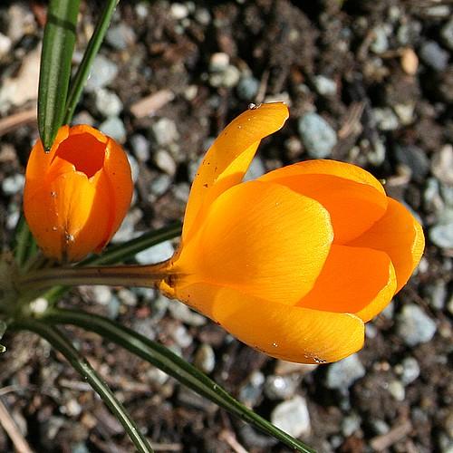 Orange_crocuses_open