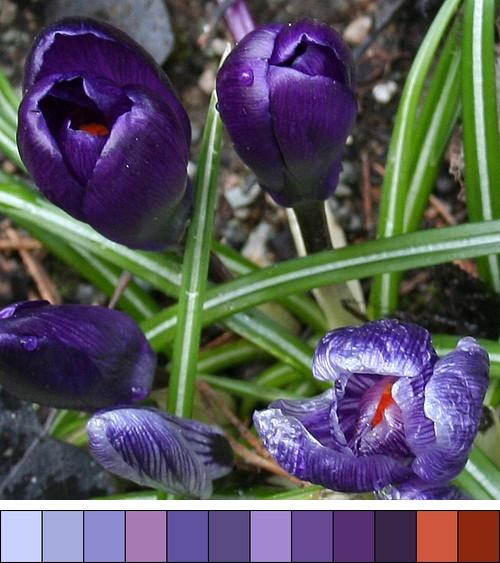 Purple_crocus_colour_archive