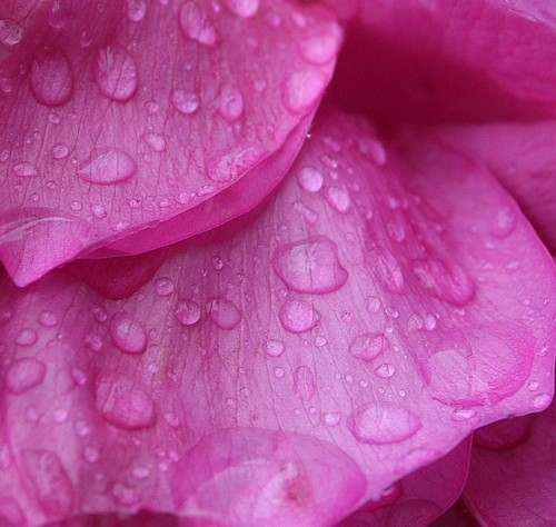 Raindrops_on_roses