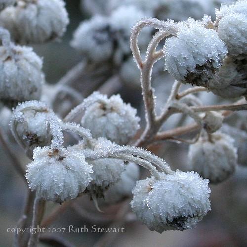 Frost_flowers