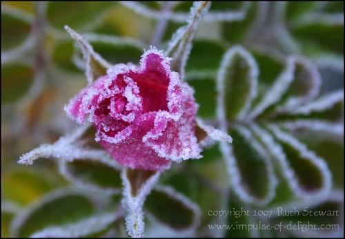 Frosty_rose