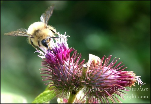 Bee_and_thistle_2