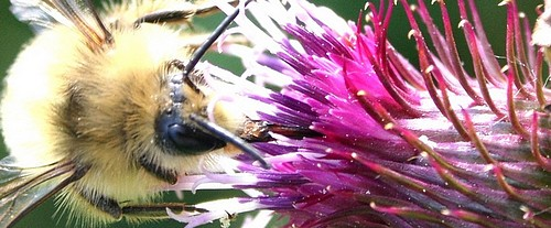 Bee_and_thistle_isolated